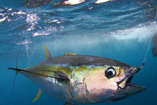 Yellowfin Tuna St Thomas - www.sportfishimages.com
