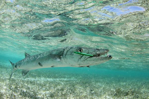 Barracuda Fishing St Thomas