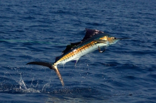 Sailfish Jumping - www.sportfishimages.com