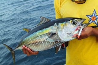 Yellowfin Tuna - www.sportfishimages.com