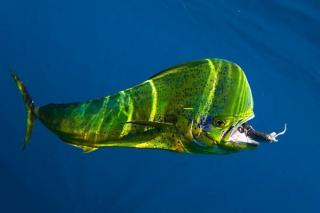 Dolphin Fish Mahi Mahi - www.sportfishimages.com